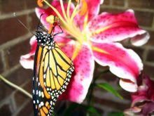 monarch-c