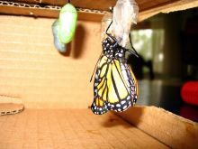 monarch-j