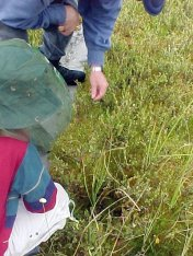 aug30-04-marsh-wetland-vegetation-cranberries
