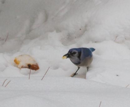 Blue Jay eating