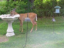 deer-drinking