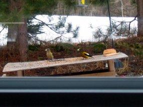 Evening Grosbeaks male and female