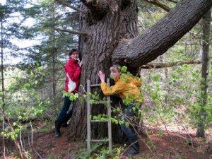Ye olde pine