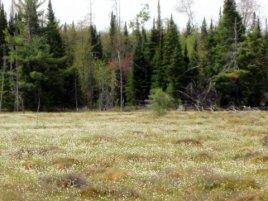 Cotton Grass on the Fen Spring 2010