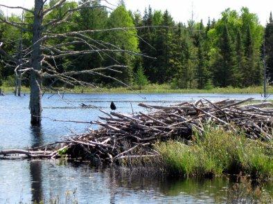 Blackbird on beaver house