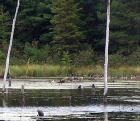 Mallards on pond