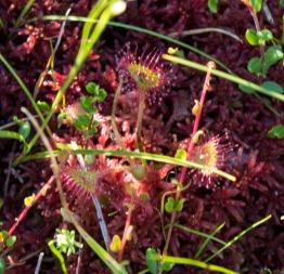 Sundew carnivorous plant