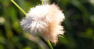 Cotton grass