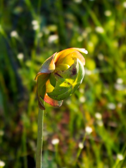 Pitcher Plant blossom